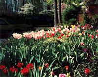 garden_08_tulips