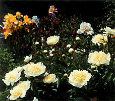 garden_17_peonie