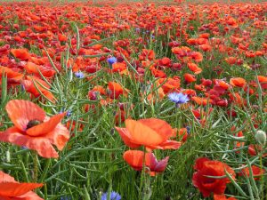 poppies_guenther