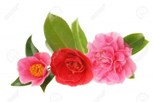 three-camellias