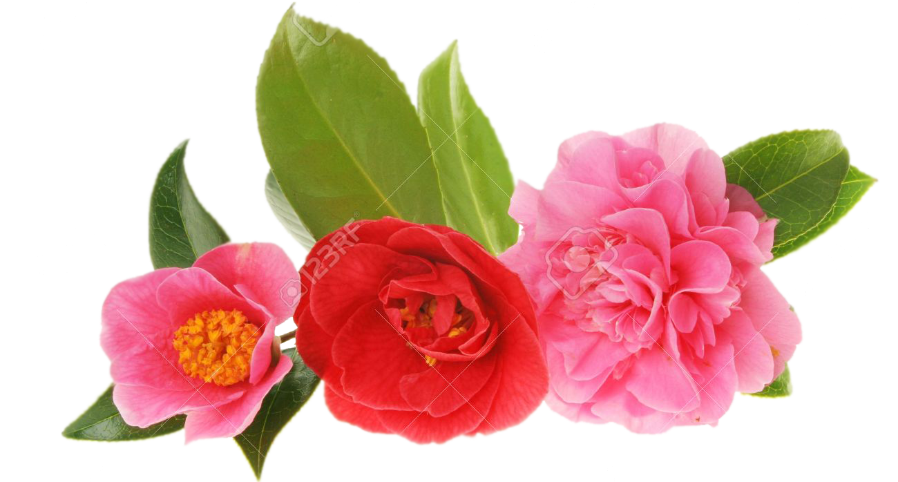 three-camellias-2