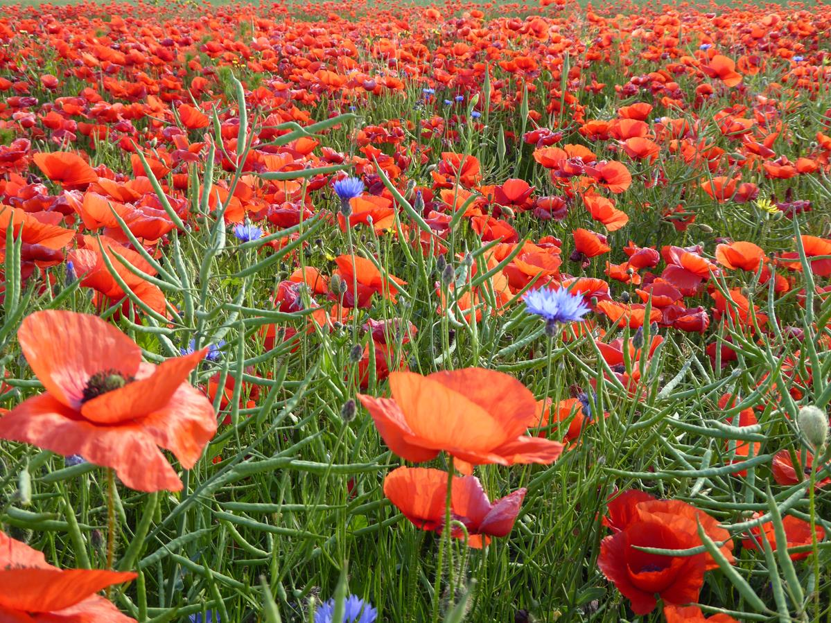 poppies one