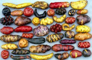 ancient peru potato