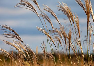 Wild grasses in a meadow in St. Michaels, on the Eastern Shore of the Chesapeake Bay, Maryland