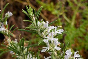 White Rosemary herb flowers Rosmarinus officinalis var. albiflorus