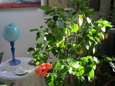 Hibiscus (indoors)