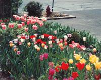 garden_07_tulips
