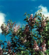 garden_11_lilacs