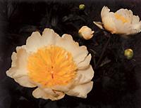 garden_19_peonieC