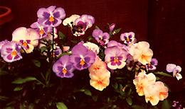 garden_21_pansies