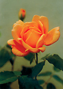 garden_22_rose