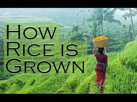 how rice is grown in bali