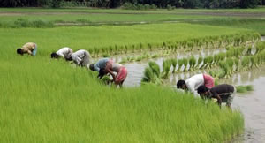 rice cultivation assam india