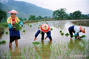rice cultivation in china