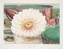 amazon lotus