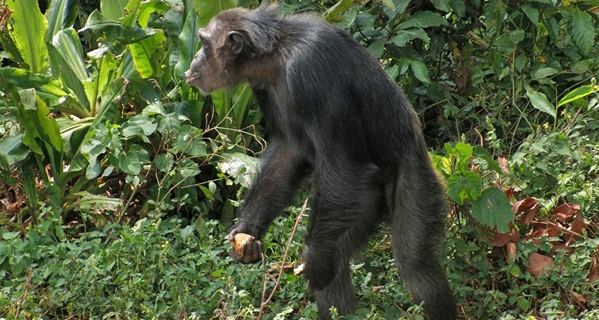 chimp foraging