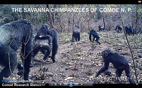 csm_SAVANNA_CHIMPS_CAM_14_title_Kopie_66fa3e6412