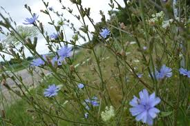 blue chicory two