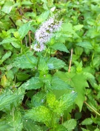 flowering mint