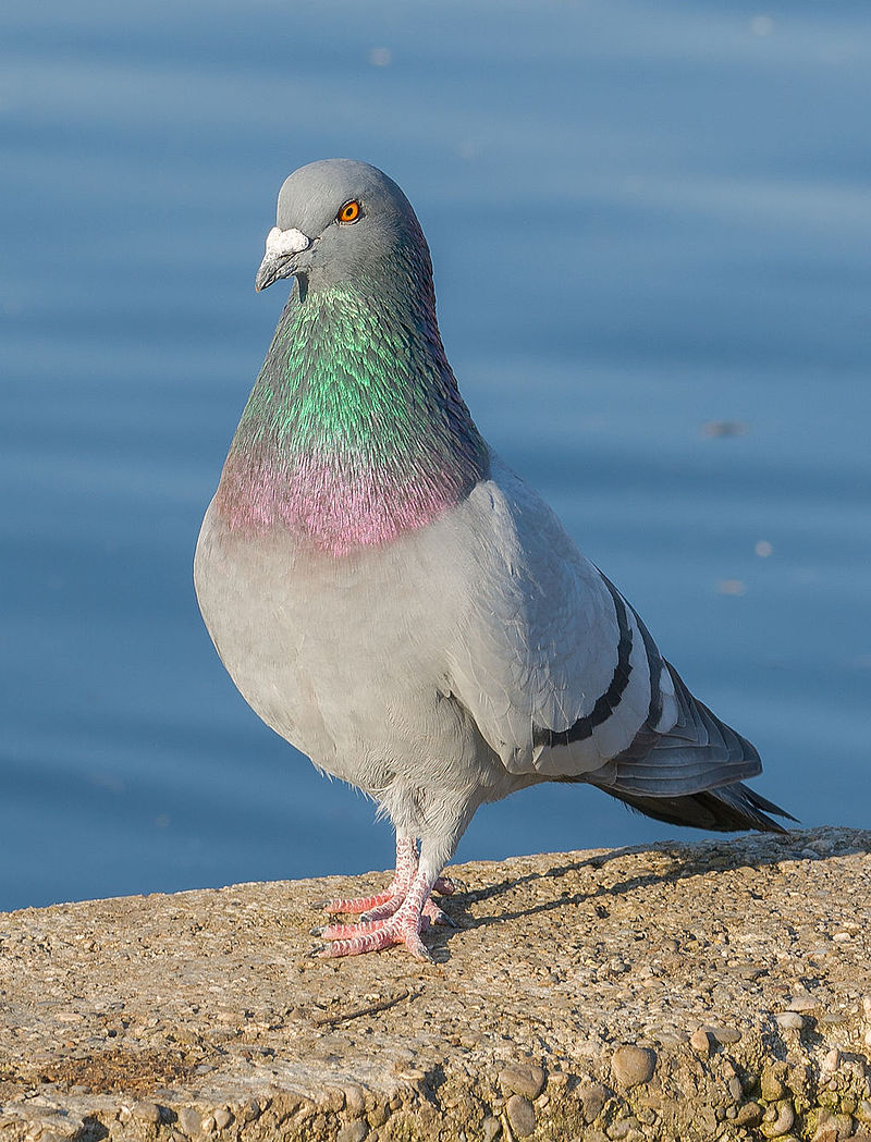 rock dove two