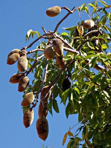 boab fruits
