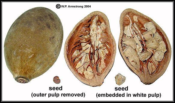 boab seed pod