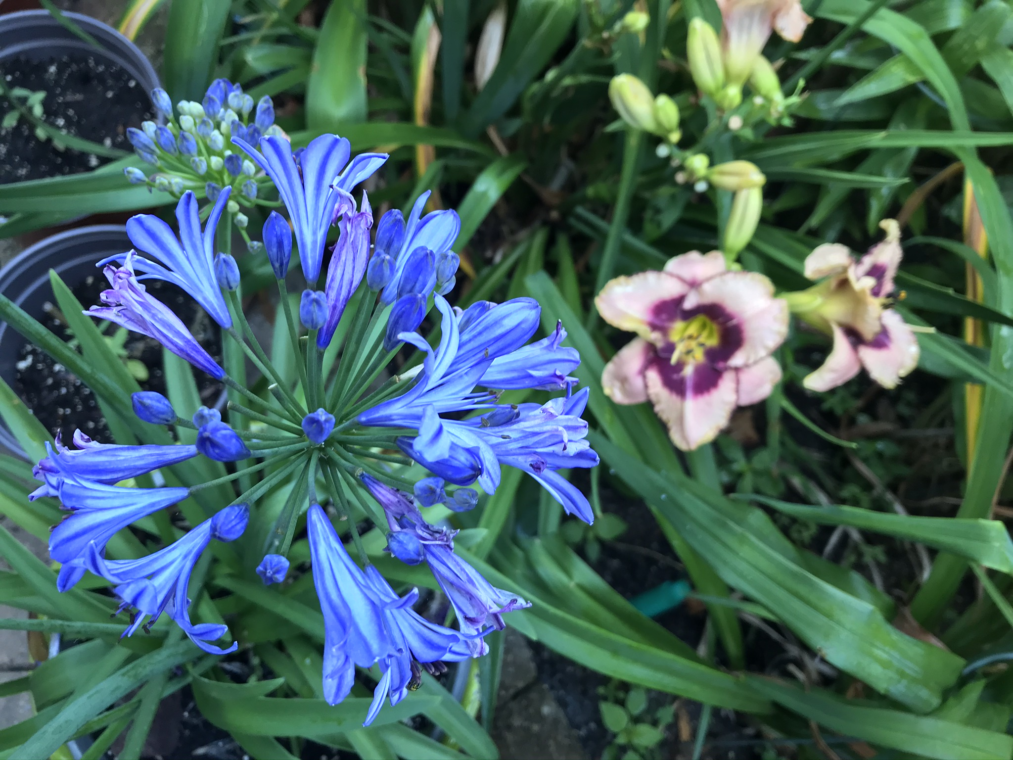 Blue_Lily