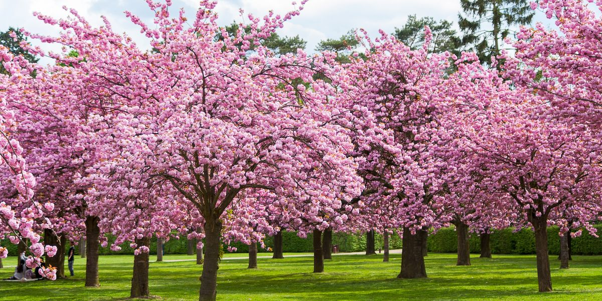 cherry-blossom-facts-1578344148