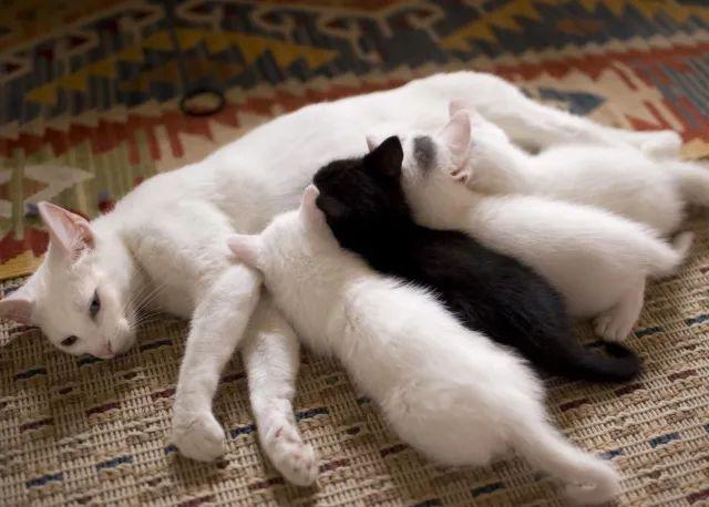 suckling kittens
