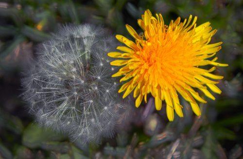 nice picture dandelions